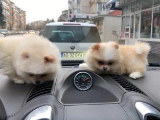 Pomeranian puppy boo pedigree fci