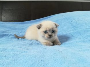 Scottish fold blue și color poynt