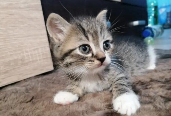 Pui pisica norvegiana de padure
