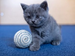 Pisicuta British Shorthair blue