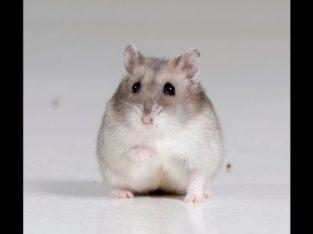 Hamsteri pereche pui