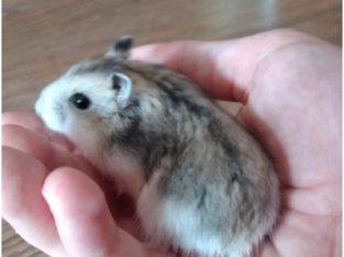 Donez hamster pitic femela