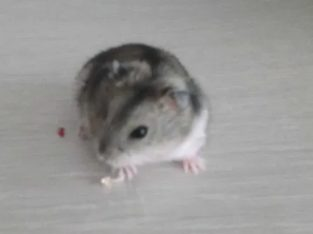 Vand hamster pitic