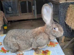 Vind iepuri uriasi german