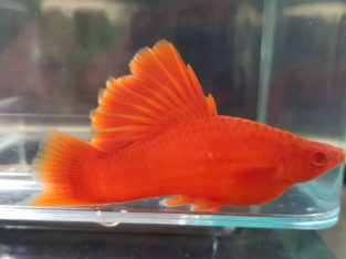 Pesti de acvariu xipho firecracker Guppy fire tail