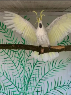 Papagal creasta galbena