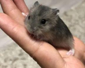 Hamsteri pitici cenușii