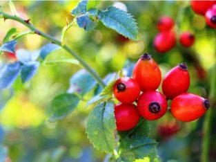 Măceșe – fructe de pădure: (Rose hip)