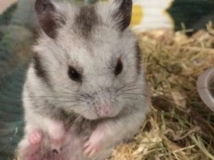 Hamsteri sirieni, siberieni, pitici,porcusori de Guineea,Degu, Gerbili