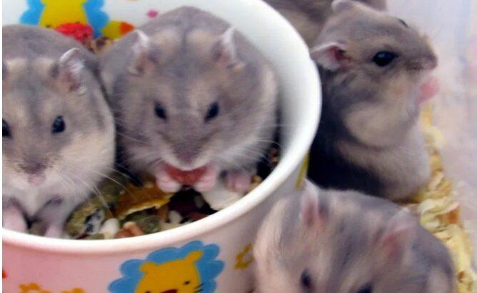 Vand hamsteri gri si negri