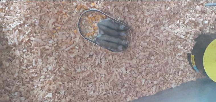 Vinde hamsteri fete și băieți