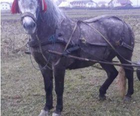 Vând cal cuminte de 6 ani