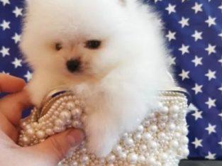 Pomeranian mini cu pedigree