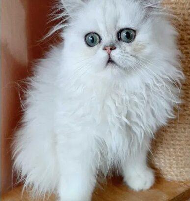 Pisici persane chinchilla