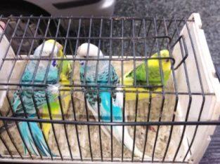Vind papagali peruș