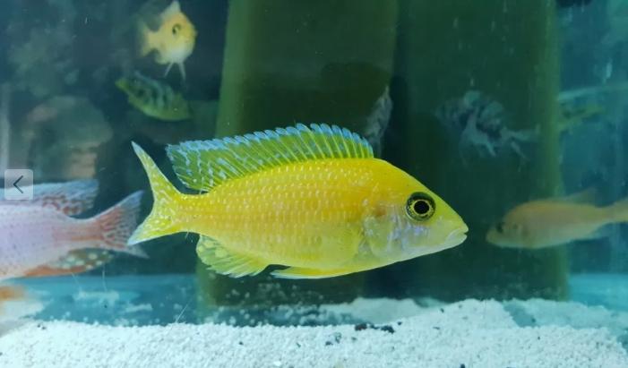 pesti acvariu ciclide africane
