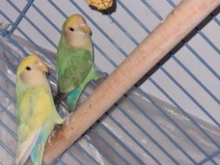 Papagali Agapornis