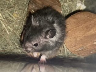 hamster sirian si cusca