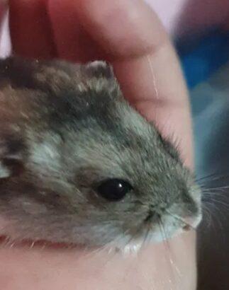 Vând pui Hamsteri