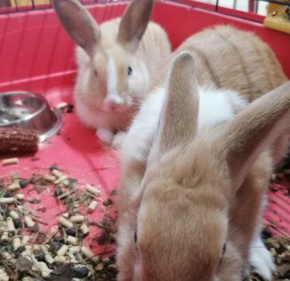 Vand 2 iepuri pitici +cusca