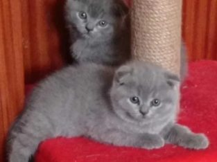 British shorthair blue/lila