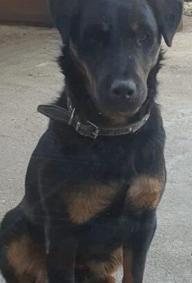 Jagd terrier mascul urgent