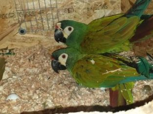 Papagali Ara Maracana, 2011, CITES