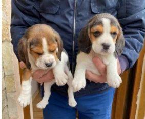Pui beagle din parinti cu pedigree
