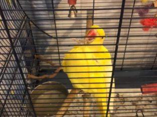 Papagal Micul Alexandru
