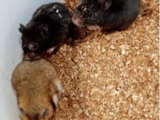 Angro. Hamsteri Sirieni, siberieni, veverite mongoleze gerbili,