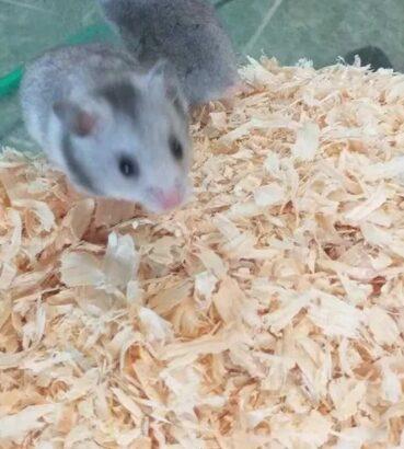 Vand pui de hamsteri sirieni