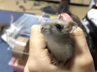 Hamsteri