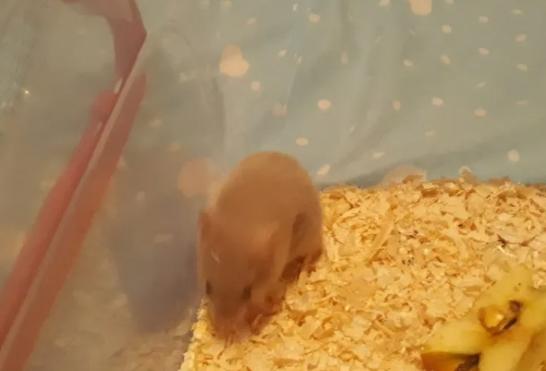 Hamsteri siberieni