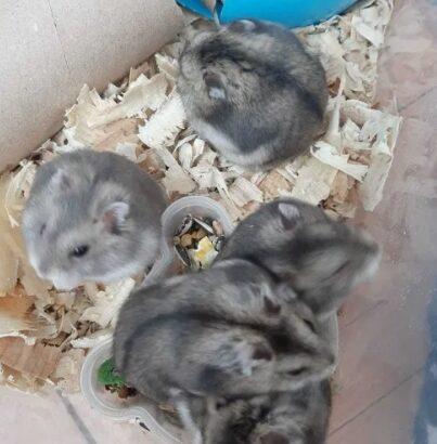 Donez hamsteri pitici siberieni