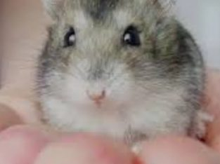Pui Hamster pitic