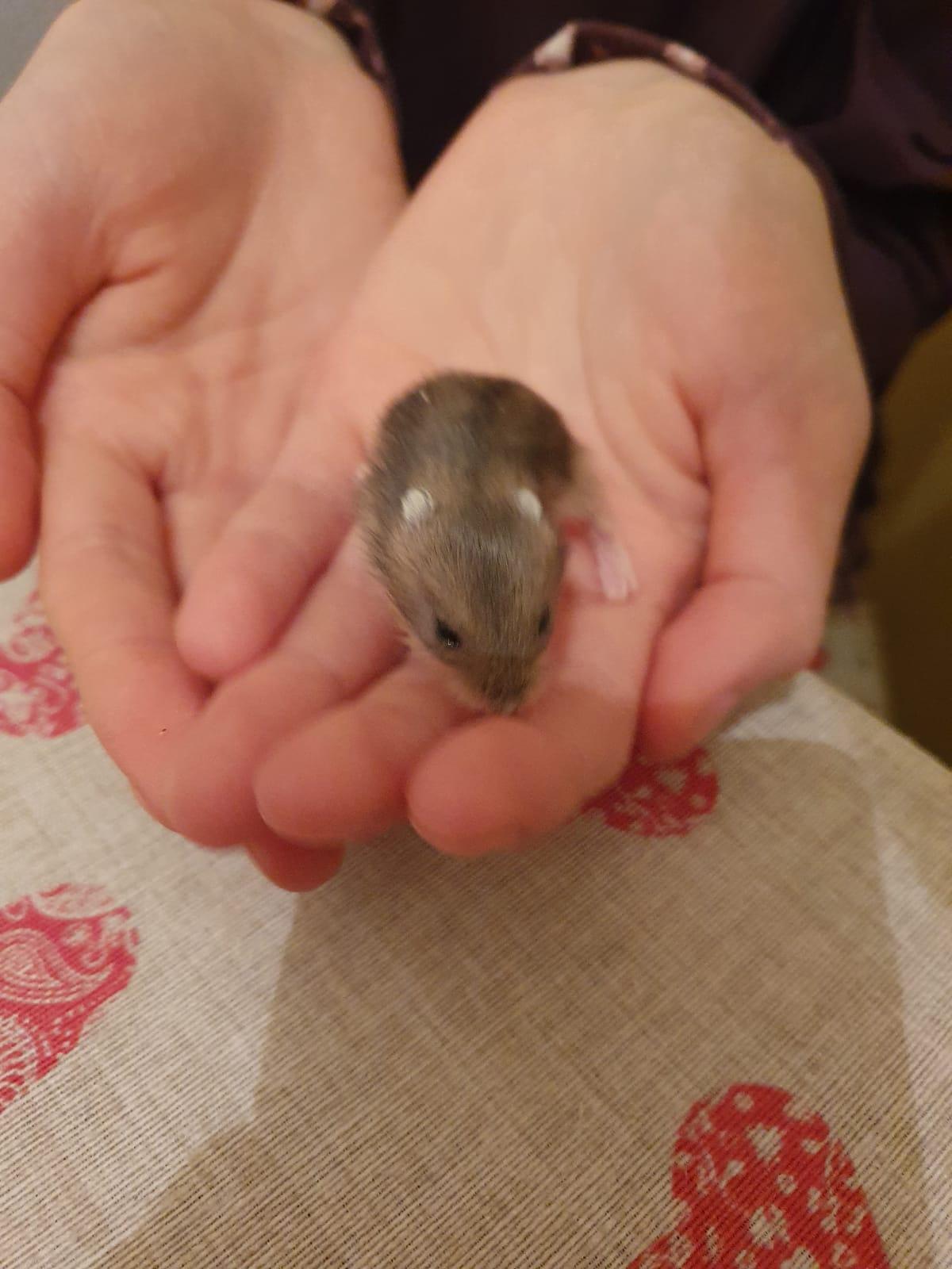 Hamsteri 8 lei