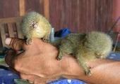Maimuțe de marmot pentru adopție !!!