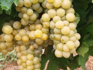Struguri de vin Muscat Ottonel Feteasca regala Riesling Merlot